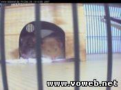 Веб камера в клетке с хомяками