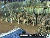 Веб камера - Вольер для жирафов