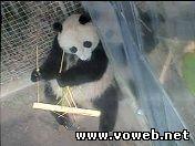 Веб камера - Панда