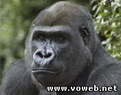 Веб камера - Вольер с гориллами. Видео веб камера