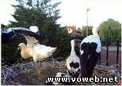 Веб камера - Германия, Борнгейм, Гнездо аистов. Вид 2