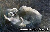 Веб камера - Полярные медведи